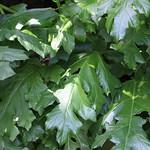 Leaves / 葉(は)