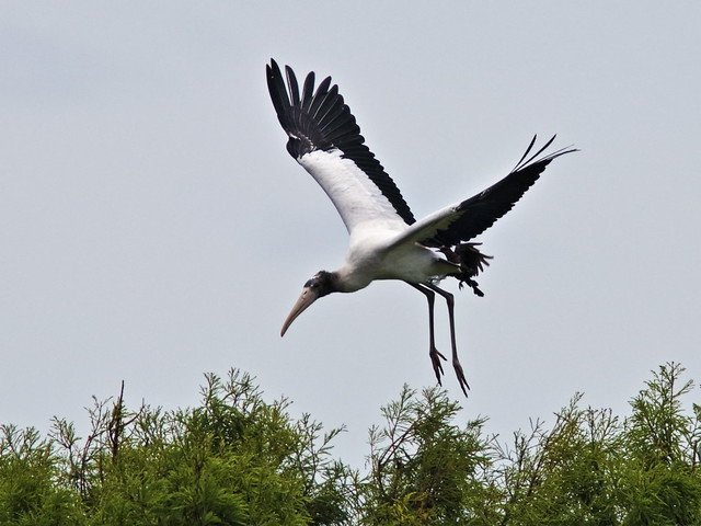 Wood Stork immature chased by BTGRs 02-20170612
