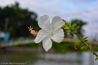 Habiscus Rosa Sinensis Linn Flower Nikon D5200 Kit Le Flickr