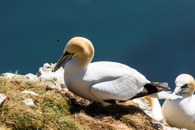 Gannet getting buzzed by a Bee
