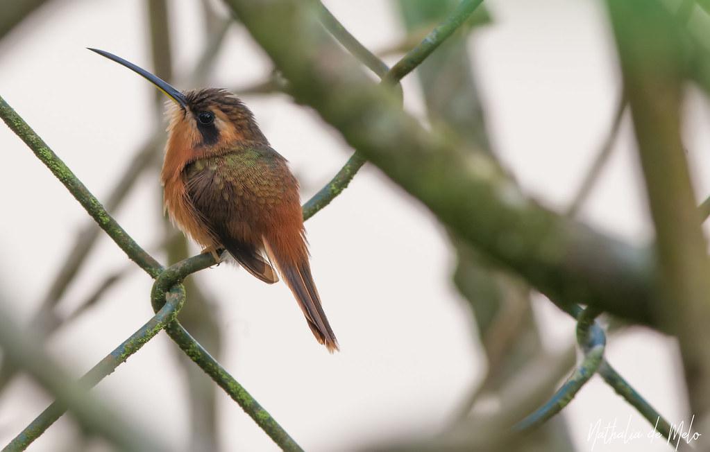 rabo-branco-rubro (Phaethornis ruber) - Reddish Hermit