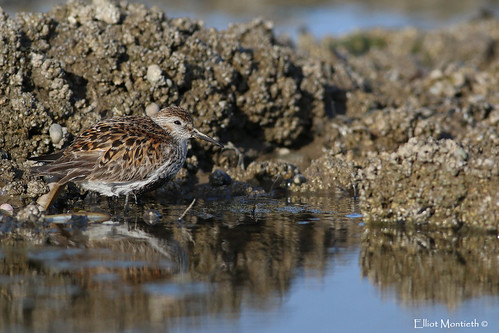 Dunlin (Calidris alpina) | by Elliot Montieth