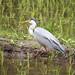 アオサギ(Grey heron)