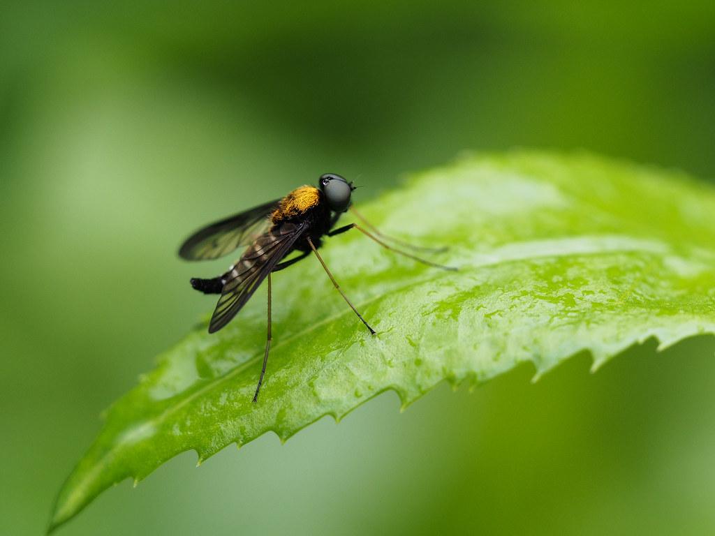 Golden-backed Snipe Fly