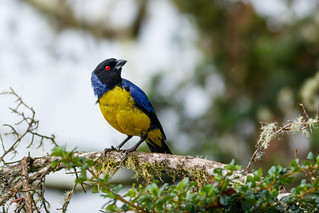 Hooded Mountain-Tanager | Buthraupis montana | by danielplow