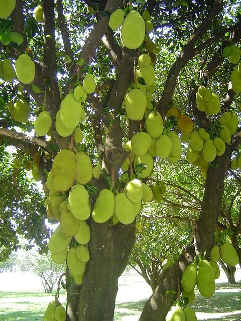 Jaqueira (62) | Jaqueira carregada de Jacas. Esta árvore