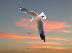 Sea Gull with Pink Clouds+ | by Sheba_Also 15.6 Million Views