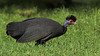 Crested Guineafowl (Guttera pucherani) by Gerhard Theron