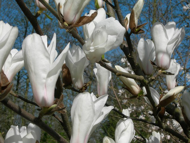 Magnolia Cylindrica Or Pegasus Depending Which Expert You Flickr