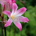Belladonna Lily - Photo (c) Eric Hunt, some rights reserved (CC BY-NC-ND)