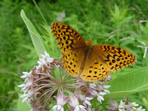 Great Spangled Fritillary | by Mon@rch