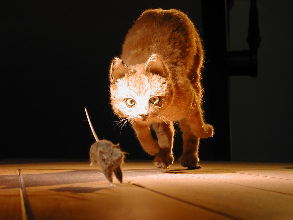 DSCN0345 | Cat chasing mouse, Naturalis museum of natural hi… | Flickr