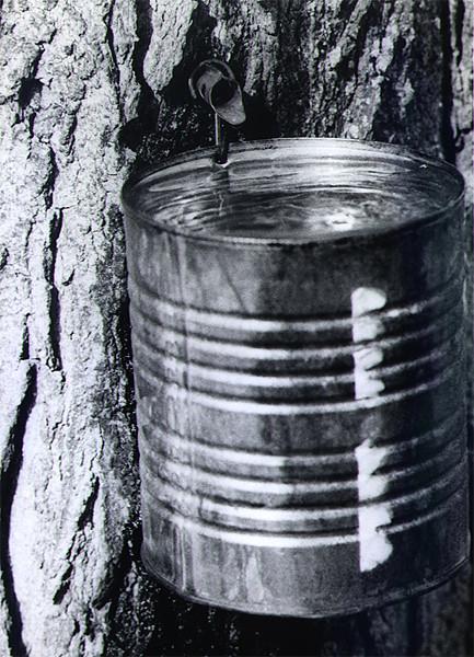 Bucket of Sap, photo by Allan L McFarlane