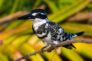 Pied Kingfisher | by Ananda Debnath