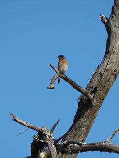 Eastern Bluebird (Sialia sialis) | by magnificentfrigatebird
