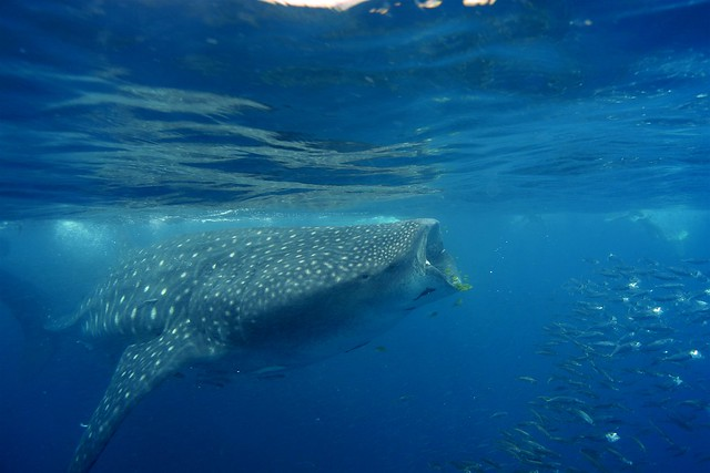 Whale Shark, Mafia Island, Tanzania 002
