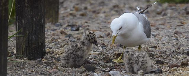 Sturmmöwe, Futter wird gekropft • Common gull, feed is grafted