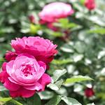 Rose, Sophie's Perpetual, バラ, ソフィーズ パーペチュアル,