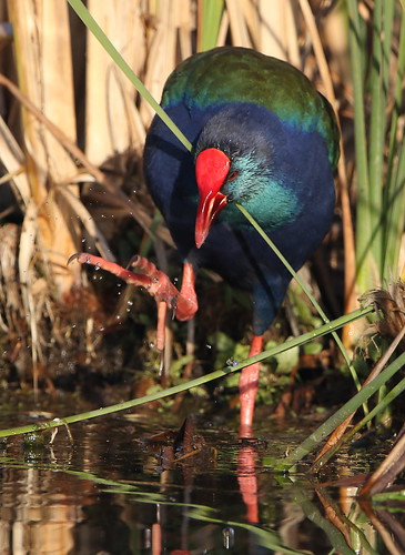 African (Purple) Swamphen, Porphyrio madagascariensis at Marievale Nature Reserve, Gauteng, South Africa | by Derek Keats