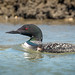 Common Loon by NA birds by Carol