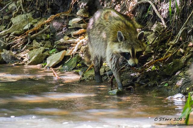 IMG_6119 raccoon