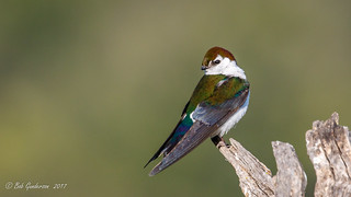Violet-green Swallow | by Bob Gunderson