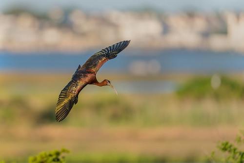ocrookery wildlife rookery nature bird ocnjvisitorscenter legadisfalcinellus shore glossyibis birdsinflight ocnj oceancity newjersey unitedstates us
