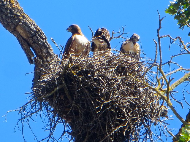 hawk and her chicks