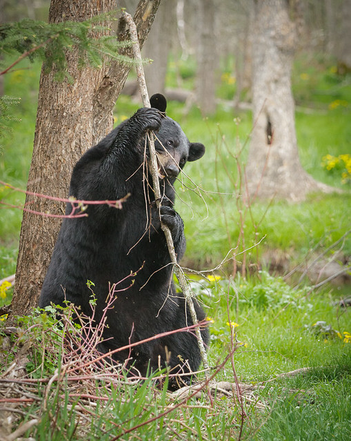 Black Bear_0064_05-16-17_MN_resized