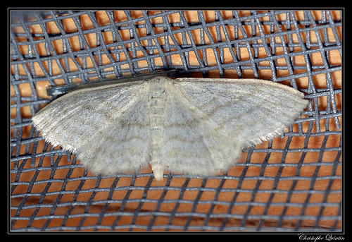 Acidalie blanchâtre (Idaea subsericeata)
