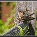 Lesser Nighthawk by Gregs eBirds