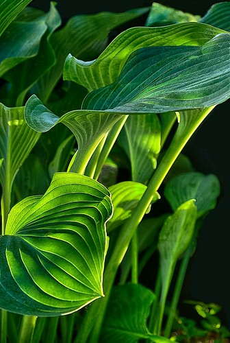 hostas sunrise