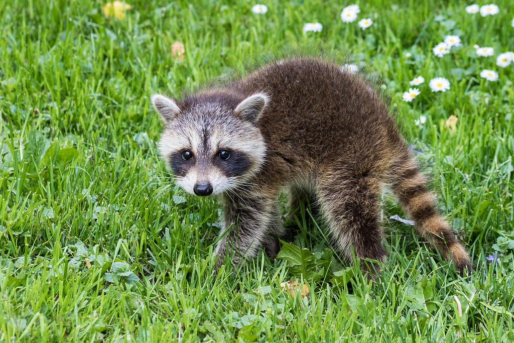 Intimidation Attempt | This baby raccoon in my backyard ...