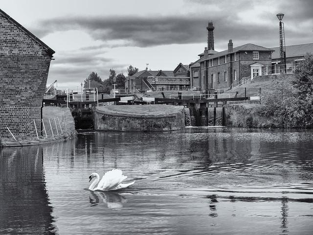 Swan below the lock gates