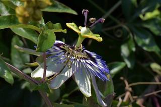 Passiflore -Passiflora - Passion flower
