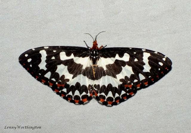 Pterothysanus laticilia (Walker,1854) Callidulidae