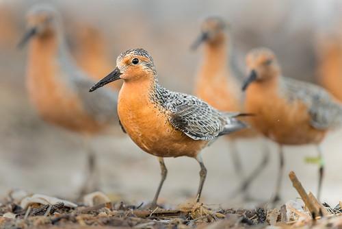 redknot beach group redknots nature bird wildlife shorebird sand migration reedsbeach newjersey unitedstates us nikon d800e endangered rufa