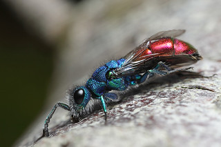 Ruby tailed wasp #4 | by Lord V