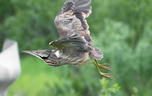americanbittern bird botauruslentiginosus butordamérique maraisduquette oiseaux saintherménégilde québec canada ca michelguérin © ©pourvisionnementseulement©