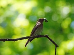 2017/05/20 (土) - 11:55 - オオルリの雌 ー 森戸川林道