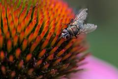 Enchifly