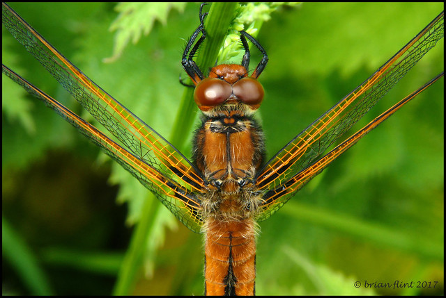 View of Scarce Chaser Dragonfly