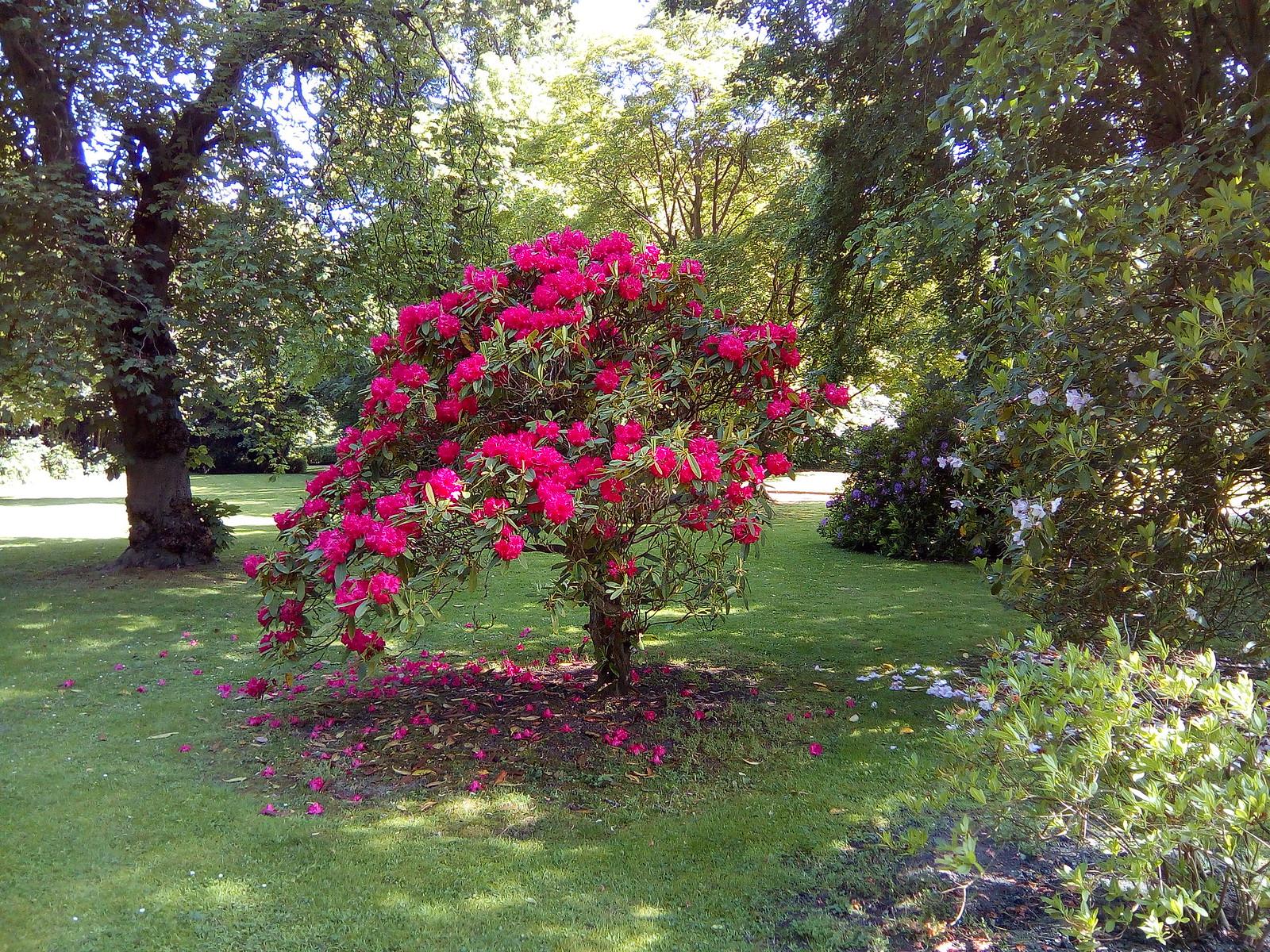 Azalea or Rhododrendum
