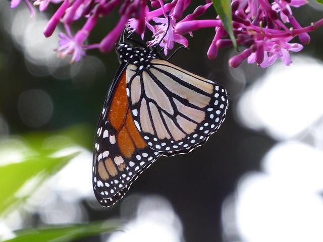 Monarch on Fuchsia arborescens