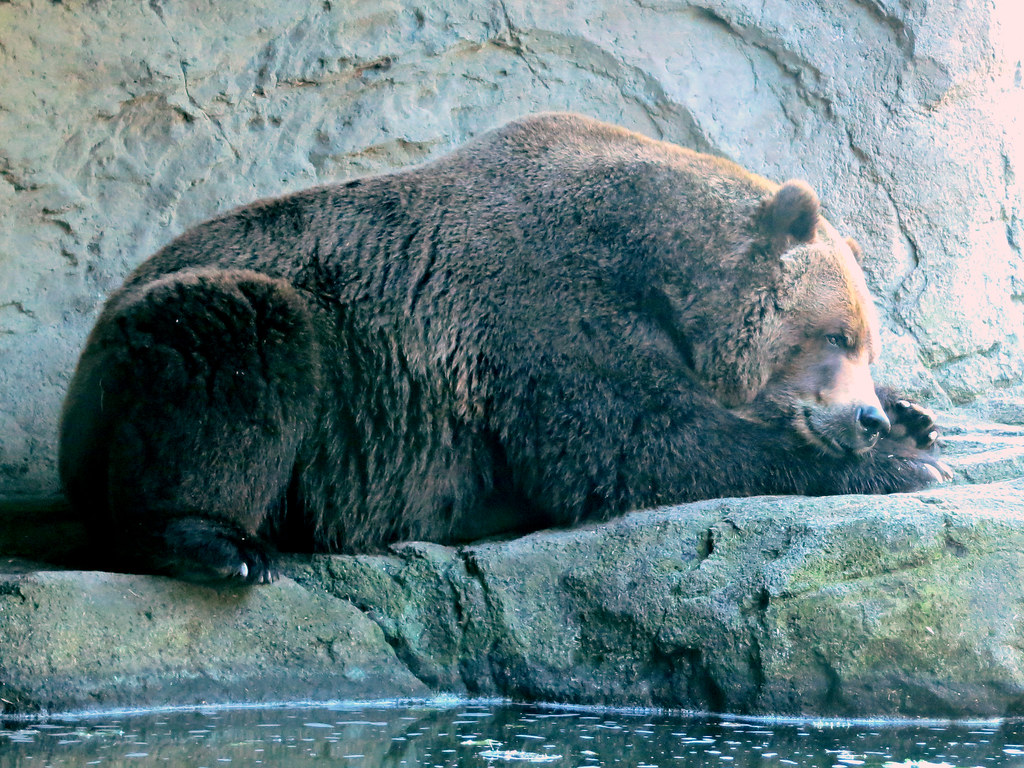 Snoozing grizzly