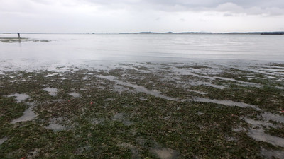 Dugong feeding trail in seagrass meadows, Changi May 2017