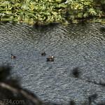 American Wigeon on Swan Lake