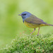 Mourning warbler by Phiddy1