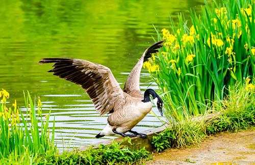North Park Goose