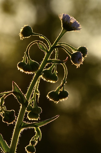 the golden hour sunrise sunset thegoldenhour rrpa0517 smokymountains thistle plant flower weed foothillsparkway